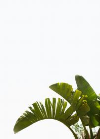plants, nature, leaves, trees, banana, sky, white, green, minimalist