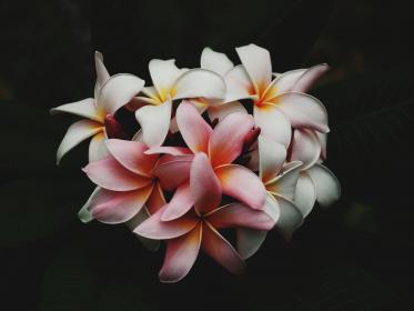 flowers, nature, blossoms, white, pink, yellow petals, gradient, cluster, leaves, bouquet, macro, still, bokeh