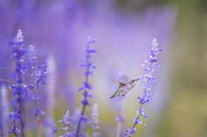 animals, birds, beautiful, gorgeous, feathers, beak, fly, hummingbird, motion, flowers, outdoors, still, bokeh