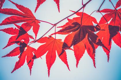 plants, nature, leaves, red, cannabis, light, shadow, clear, blue, sky, vignette