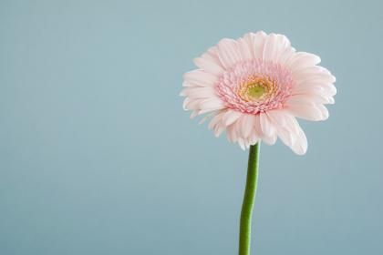 flowers, nature, blossoms, stems, stalk, pink, carnation, petals, gerbera, macro, still, bokeh, minimalist, blue