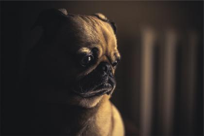 pug, dog, pet, animal, cute, sad