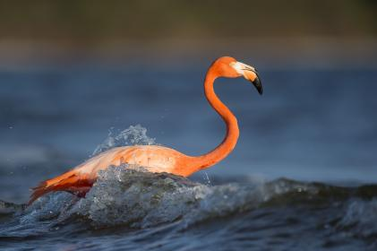animals, birds, flamingo, beak, beautiful, gorgeous, feathers, stand, leg, water, waves, splash, ripples, vermillion