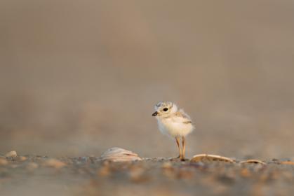 animals, birds, beautiful, gorgeous, stand, chick, baby, offspring, soil, ground, still, bokeh, beige