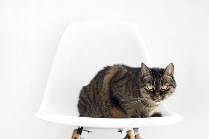animals, feline, cats, breed, whiskers, adorable, fur, fluffy, sit, chair, stare, white, bokeh, still, minimalist