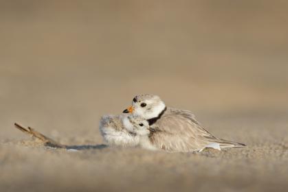 animals, birds, beautiful, gorgeous, feathers, beak, perch, mother, offspring, child, love, still, bokeh, beige, white