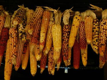 food, crop, harvest, corn, kernels, hanging, row, patterns, shapes, colors, yellow