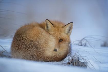 animals, foxes, fur, majestic, beautiful, stare, snow, grass, still, bokeh