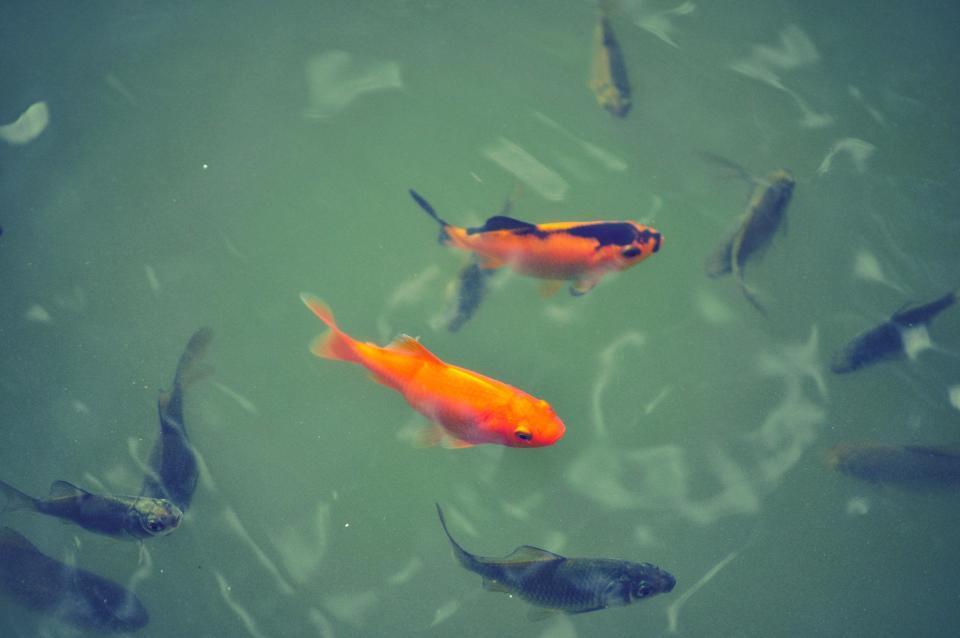animals, marine, life, fish, koi, water, pond, still bokeh