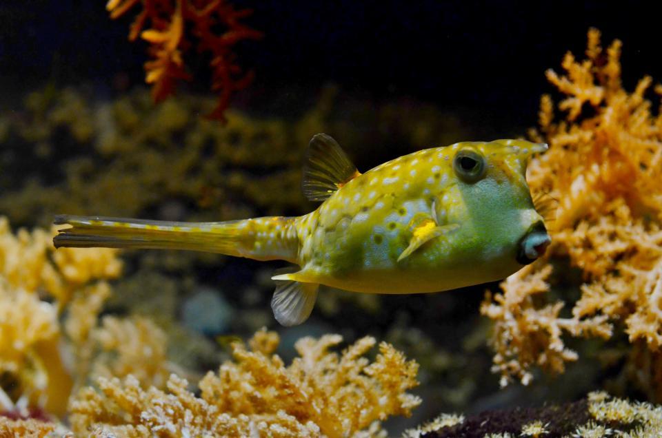 pufferfish, blowfish, bubblefish, under water, sea