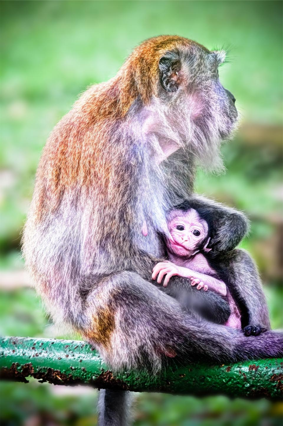 monkeys, animals, baby, family, father