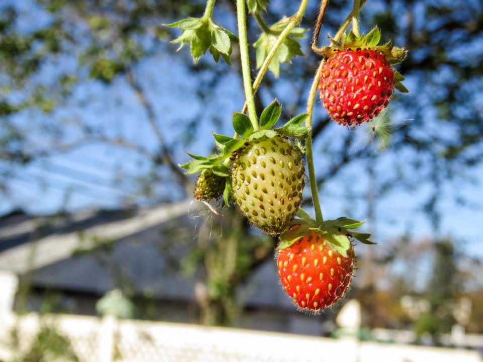 strawberries, strawberry, fruits