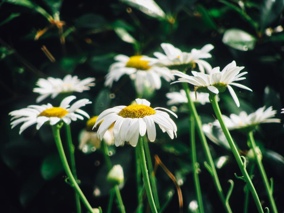 daisy, daisies, flowers, garden, nature, sunshine