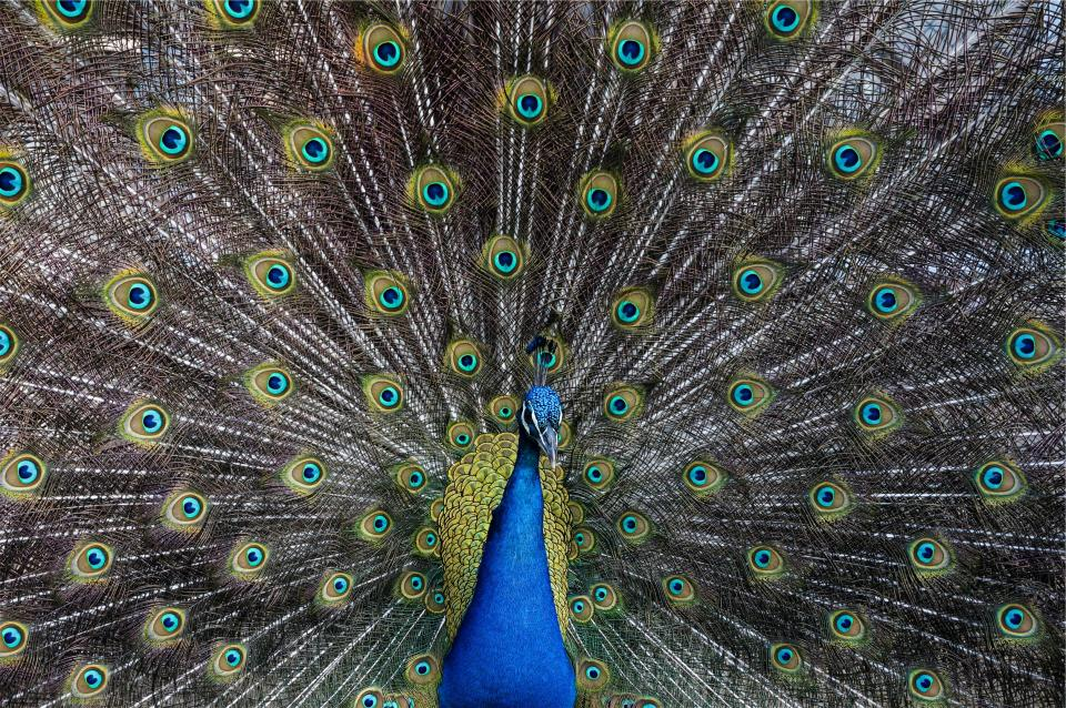 peacock, bird, animal