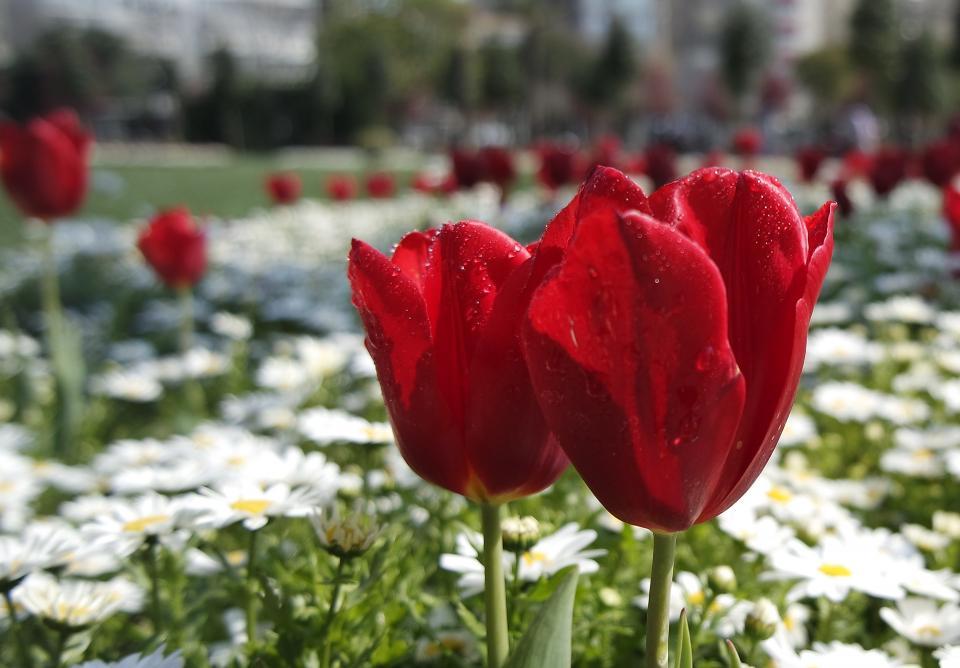 red, white, flowers, garden, leaves, raindrops, plant, nature