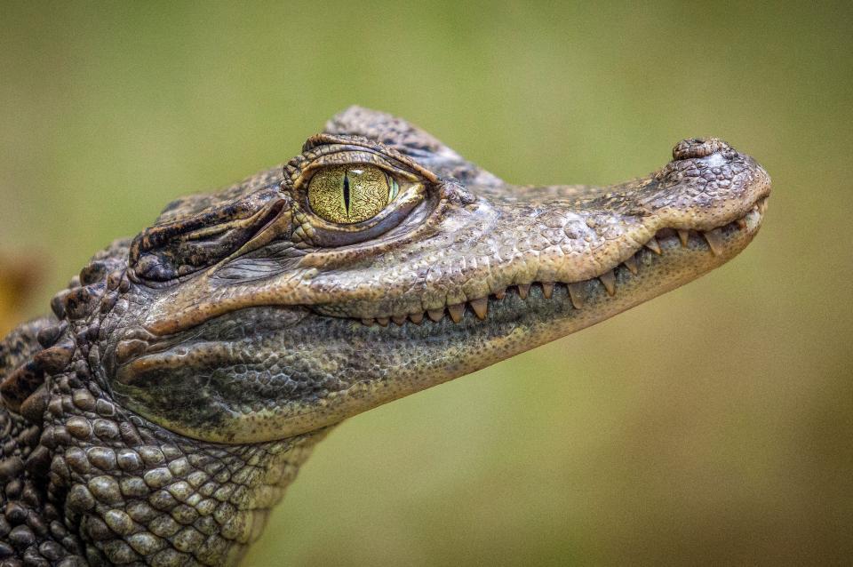 animals, reptiles, crocodile, eyes, teeth, scales, fierce, scary, still, bokeh