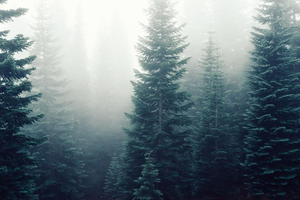 forest, fog, foggy, trees, woods, green