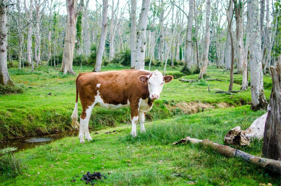 cow, animal, green, grass, forest, nature