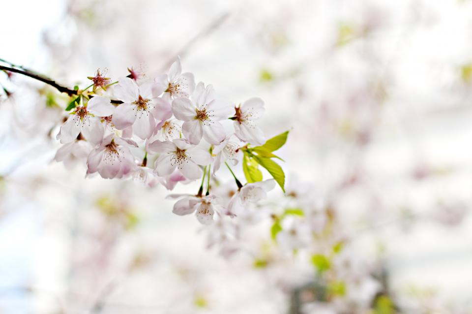 blossoms, flowers, trees, branches, nature, white