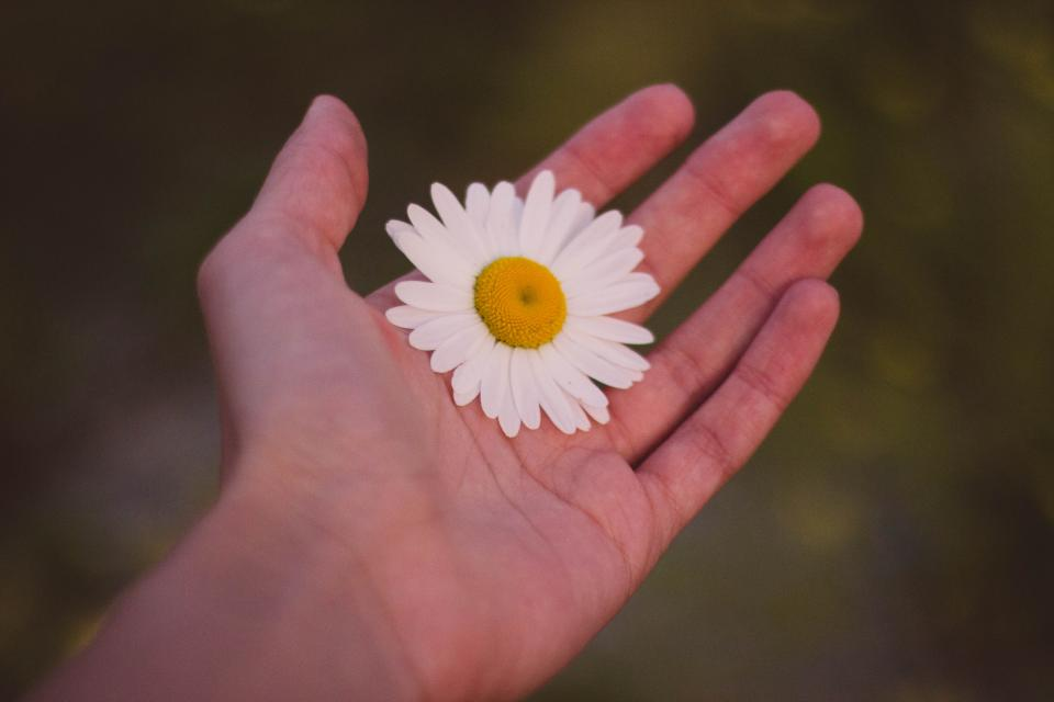 hand, daisy, flower, nature, outdoors