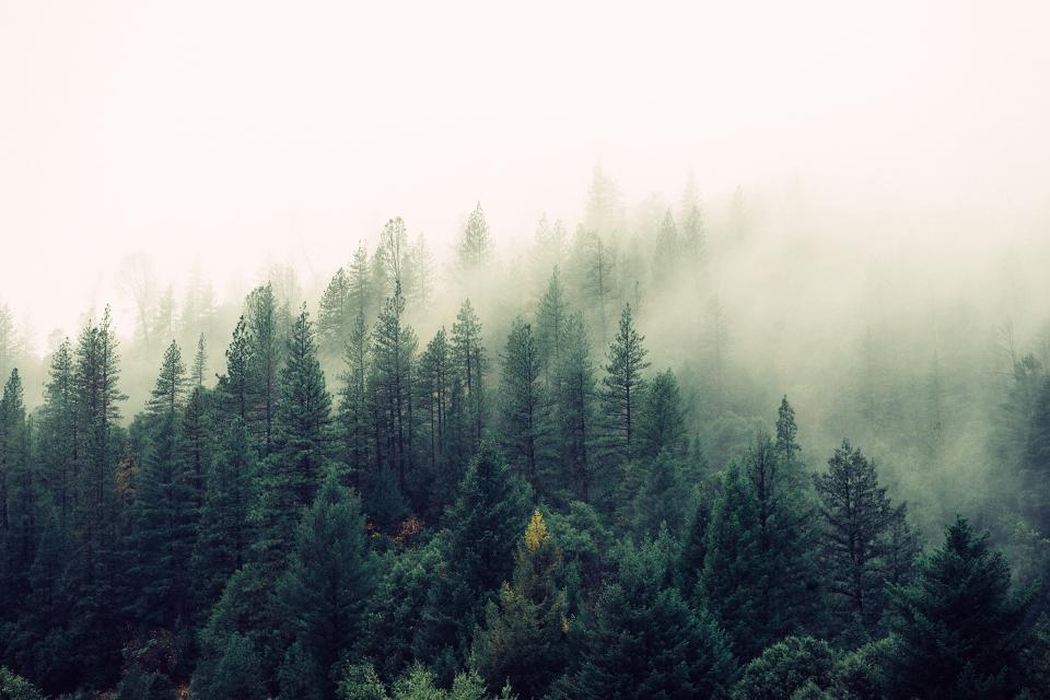 forest, woods, trees, green, fog, foggy, sky