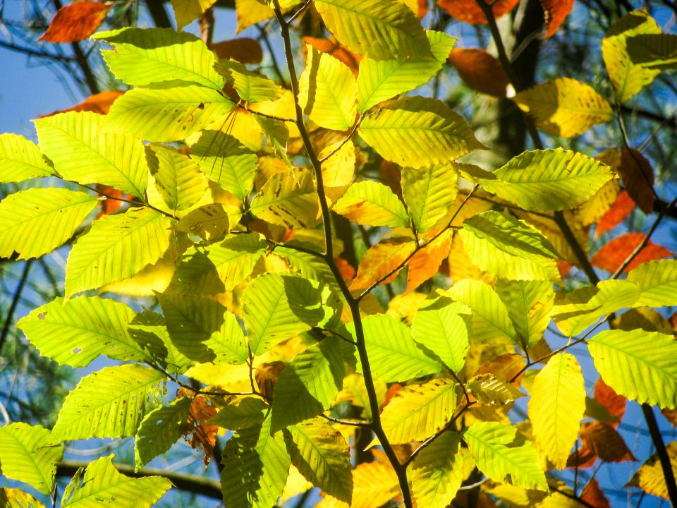 autumn, leaves, yellow