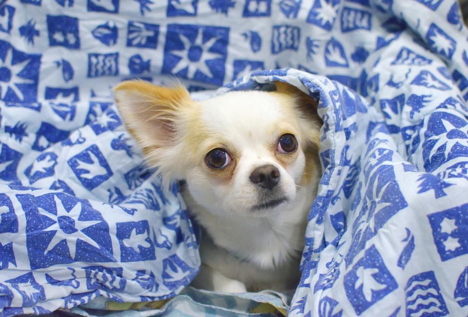animals, dogs, domesticated, pets, eyes, muzzle, adorable, peek, graphic, blanket, chihuahua, bokeh