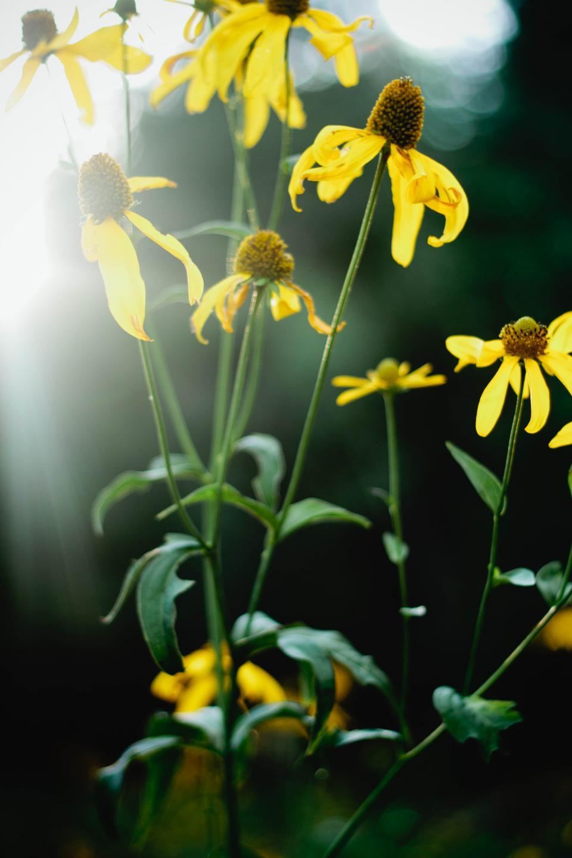 sunflowers, plants