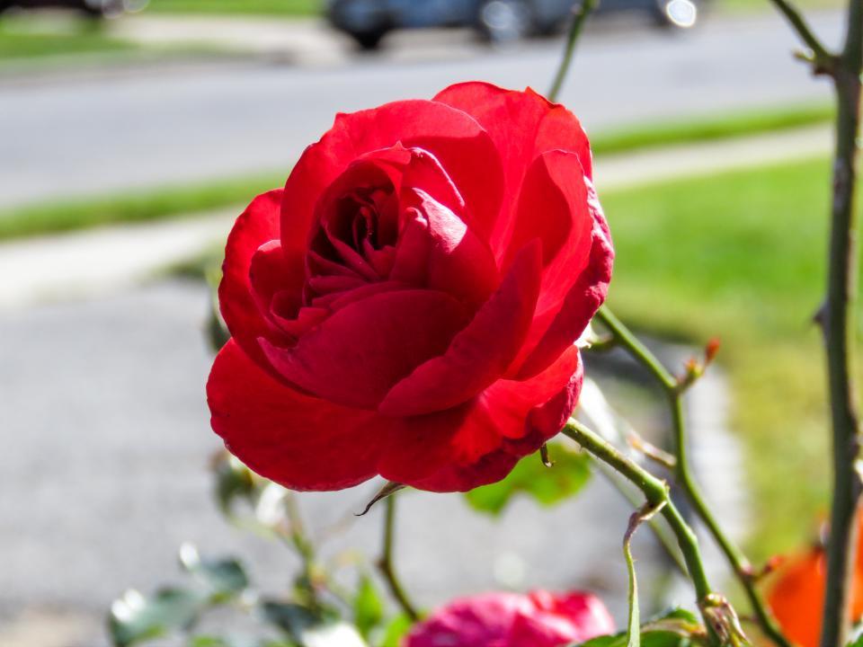 red, rose, flower