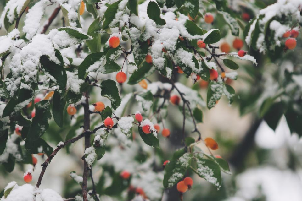 orange, berries, trees, branches, leaves, winter, snow