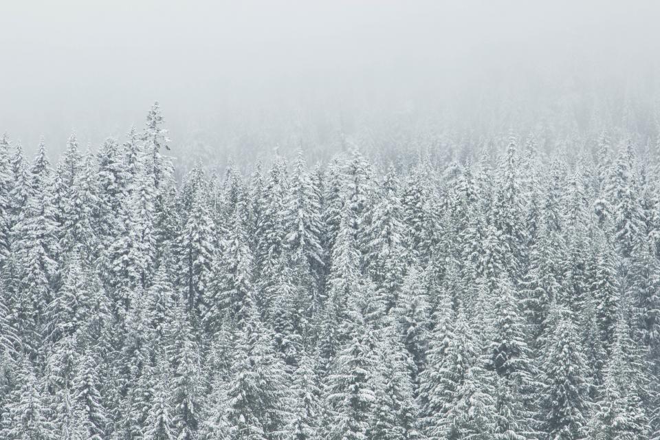 winter, forest, trees, snow, blizzard, fog, grey