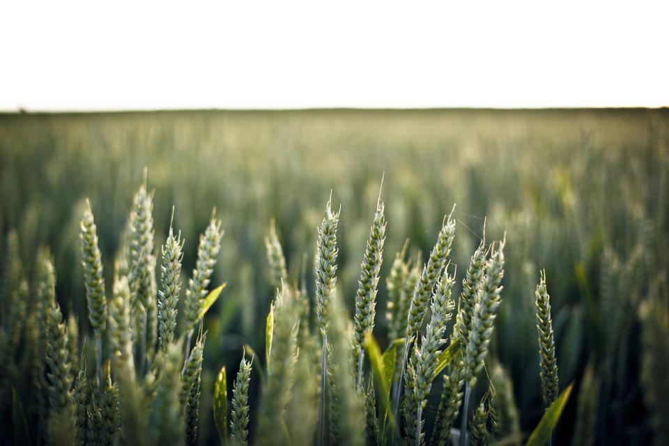 green, barley, fields, farm