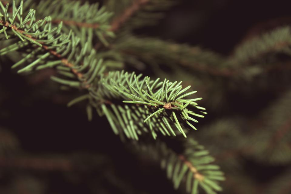 christmas, tree, pine leaves, nature, festive, holidays