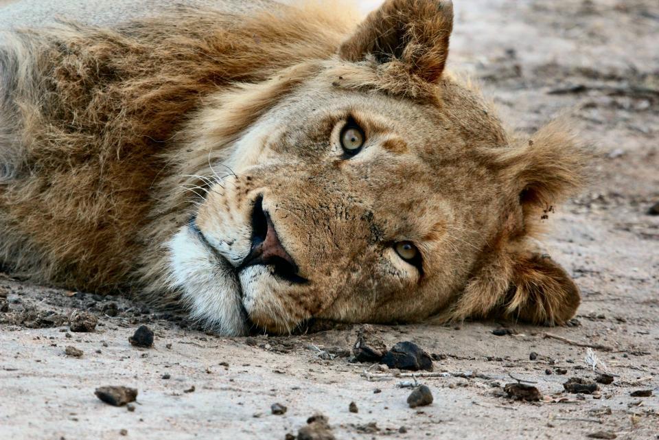 animals, feline, lion, wildlife, whiskers, lay, down, nature, rocks, soil, bokeh