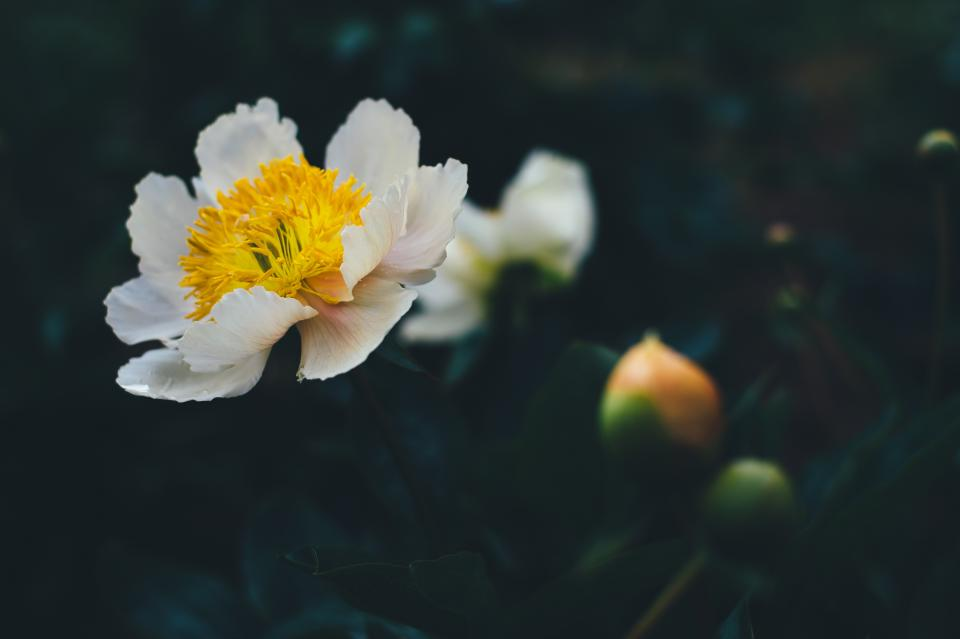 flowers, nature, blossoms, branches, stems, stalk, white, petals, yellow, bokeh, outdoors, garden