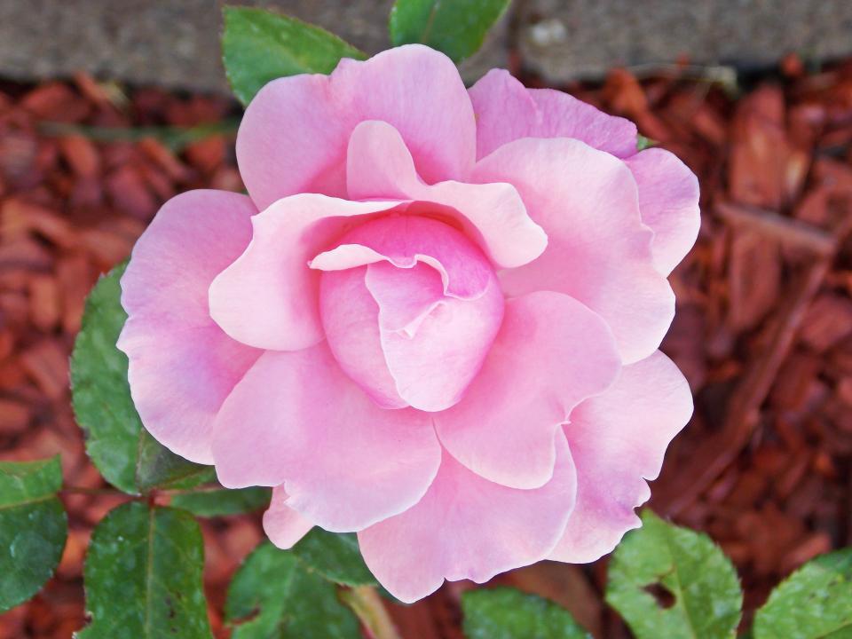 pink, flower, garden