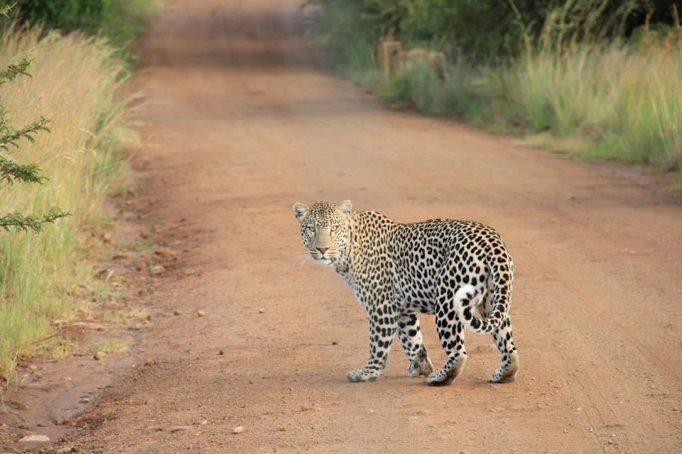 animal, tiger, cat, feline, spots, zoo, dirt road