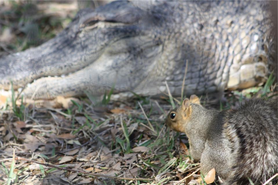 squirrel, aligator, animals