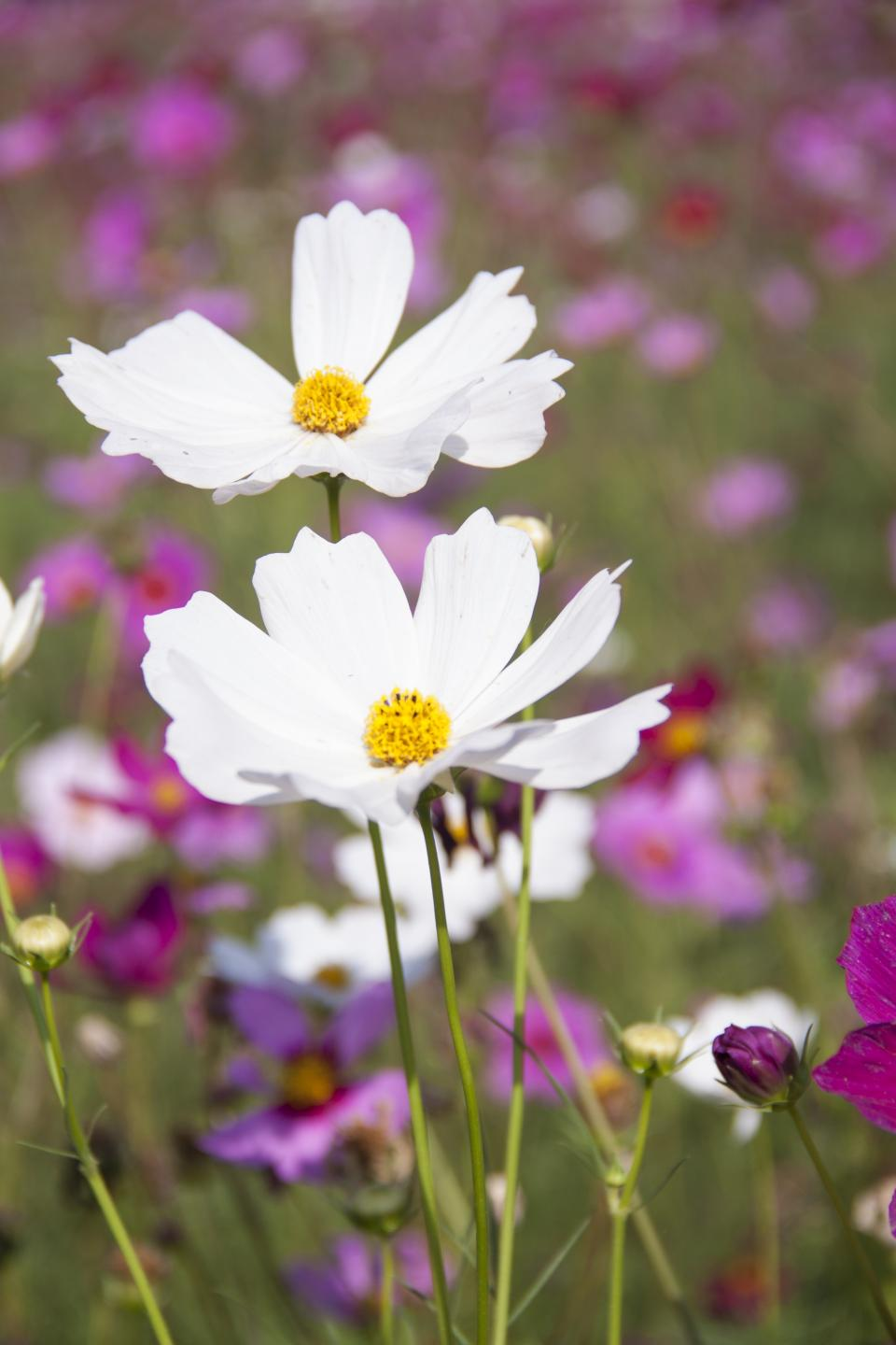 flowers, nature, blossoms, field, bed, white, purple, stems, stalks, petals, leaves, grass, still, bokeh, outdoors