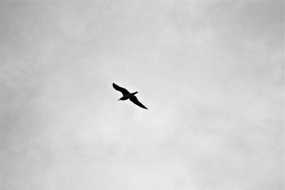 bird, flying, sky, black and white