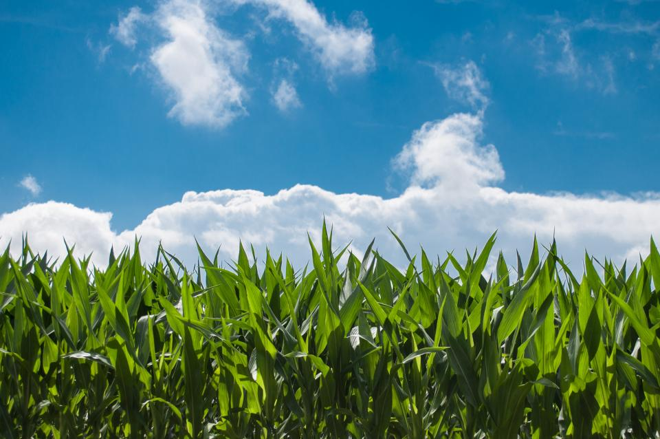 corn fields, farming, country, rural, green, sky, clouds