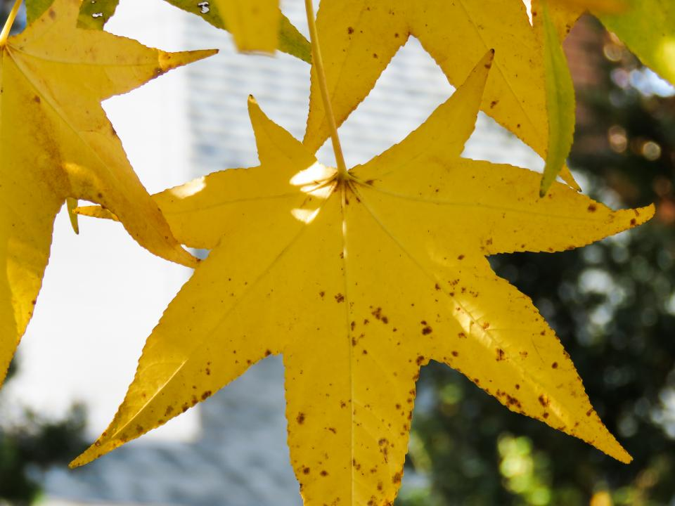 yellow, leaves