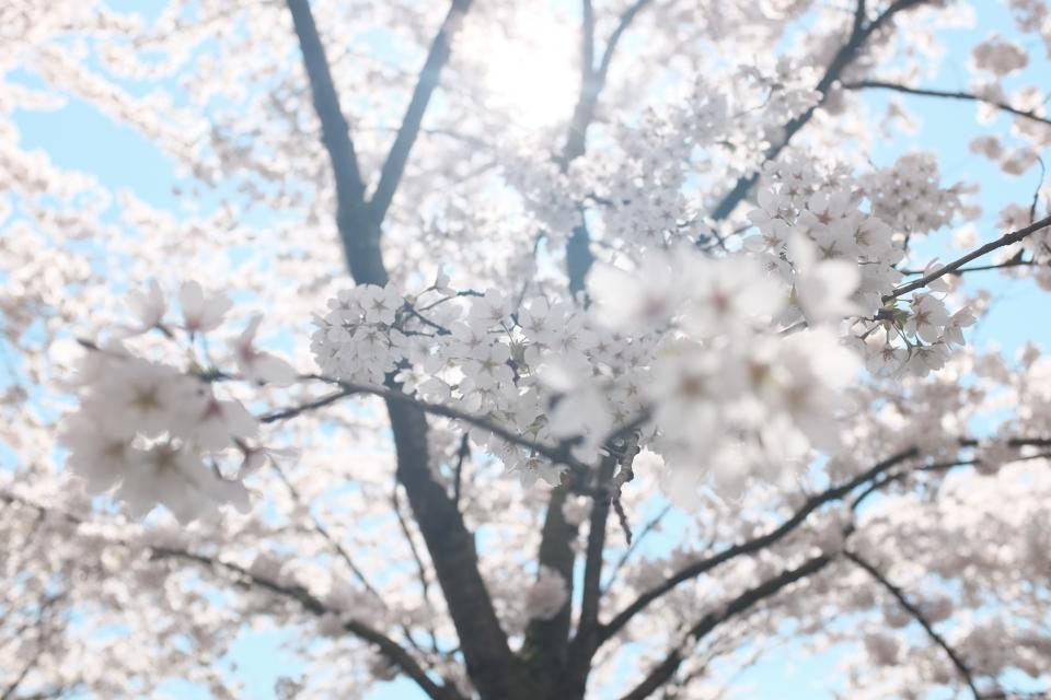 white, blossoms, trees, branches, flowers, sunshine, sunlight, summer, nature