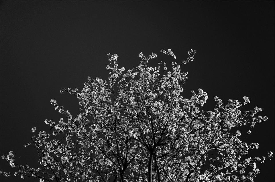 tree, blossoms, black and white