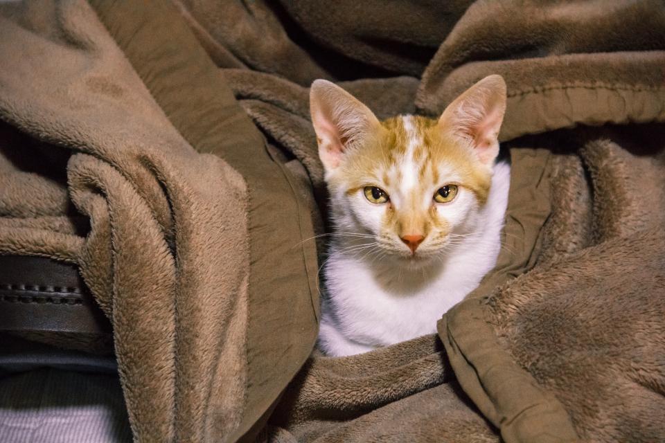 cat, animals, blanket
