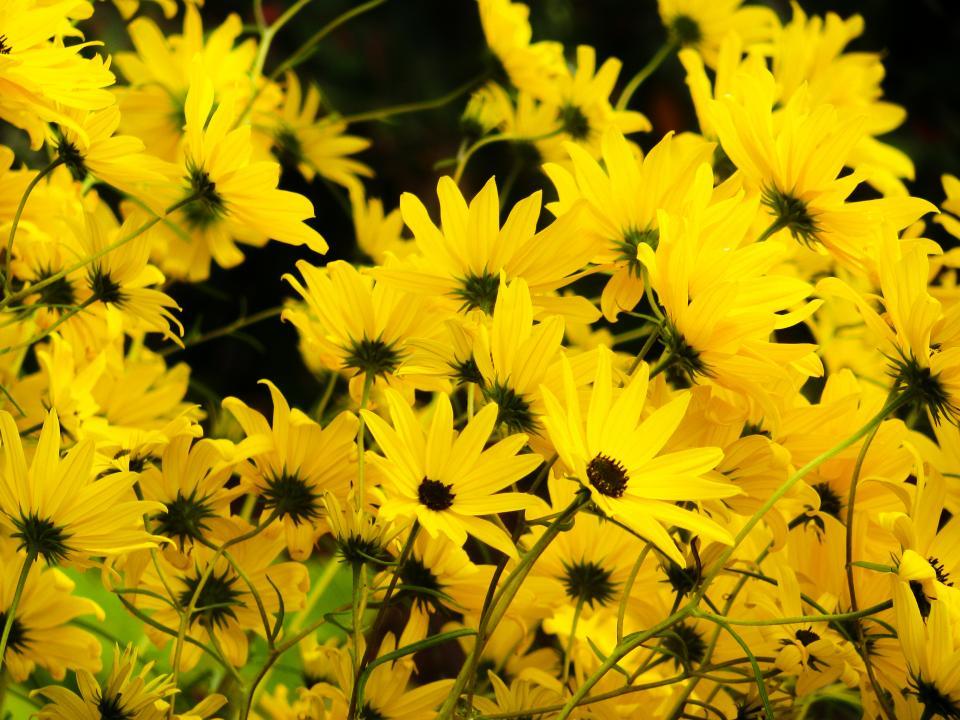 yellow, flowers, garden, nature, summer