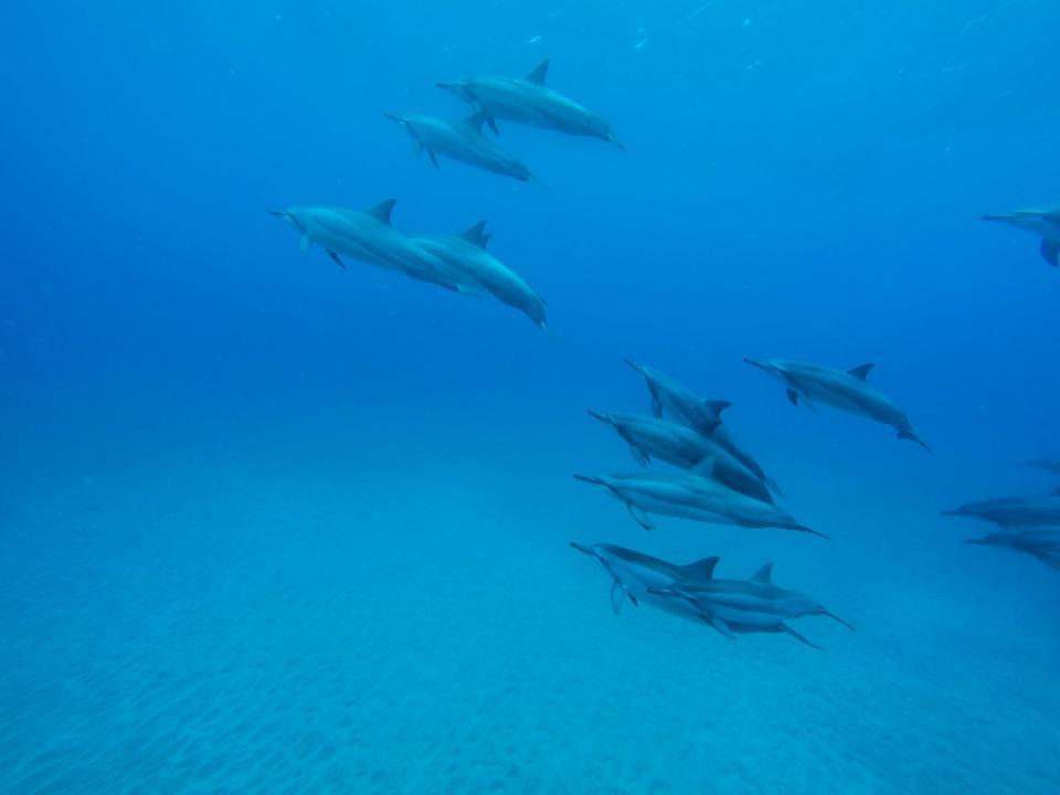dolphins, underwater, ocean, sea, blue