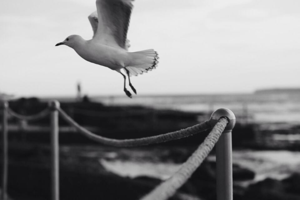 bird, wings, flying, black and white
