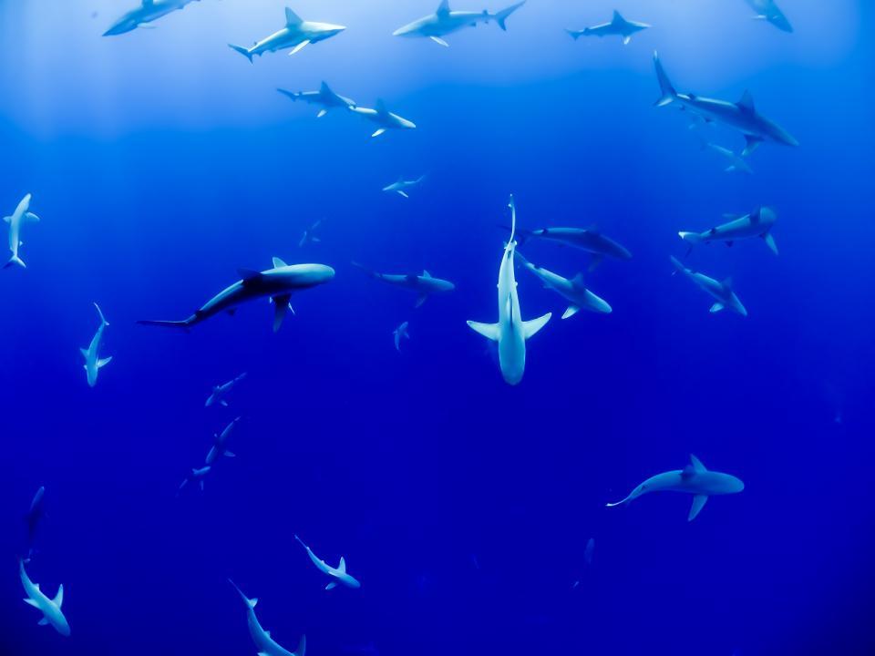 underwater, blue, ocean, sea, fish, sharks, swimming