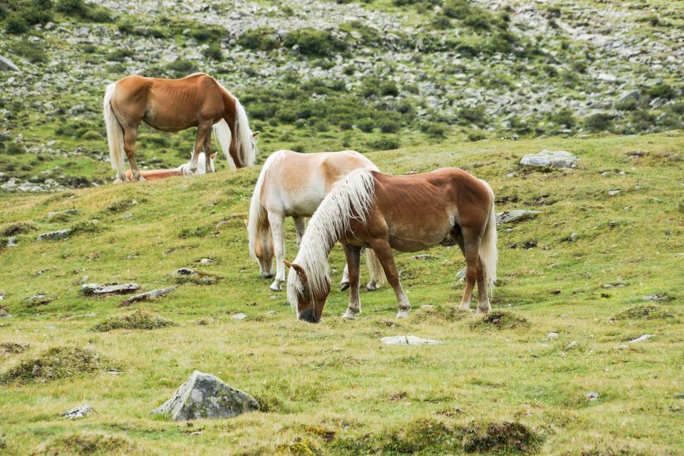 horses, animals, hair, manes, grass, fields